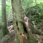 Albero muschiato